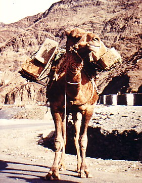 camel in Khyber Pass